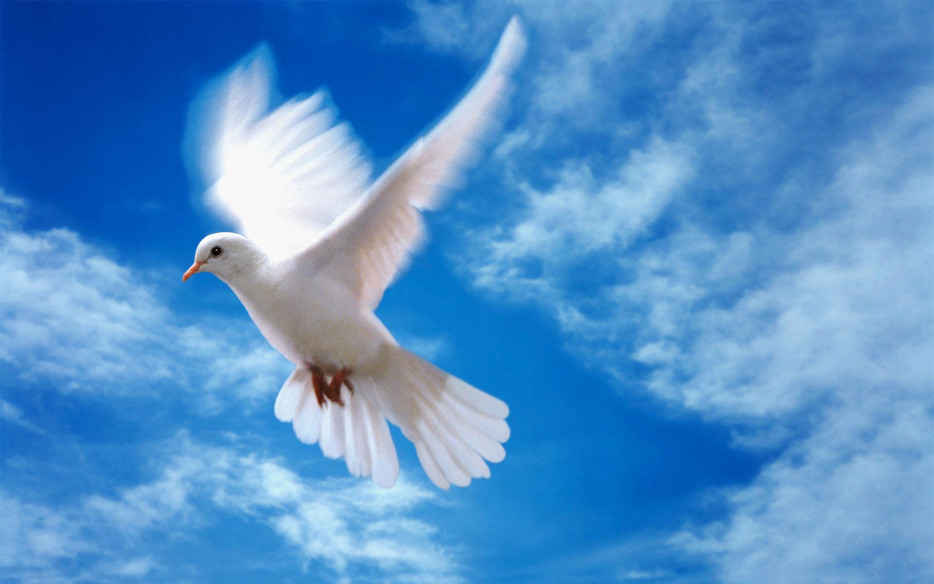 Любовь и голуби обои фото голубь