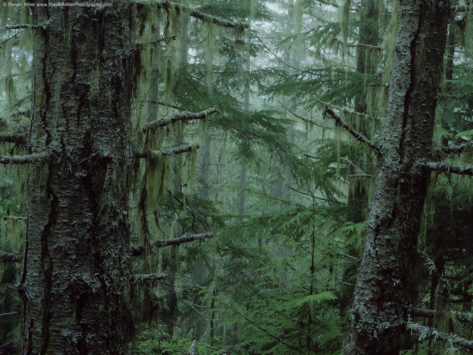 Лес обои фото старый лес картинки