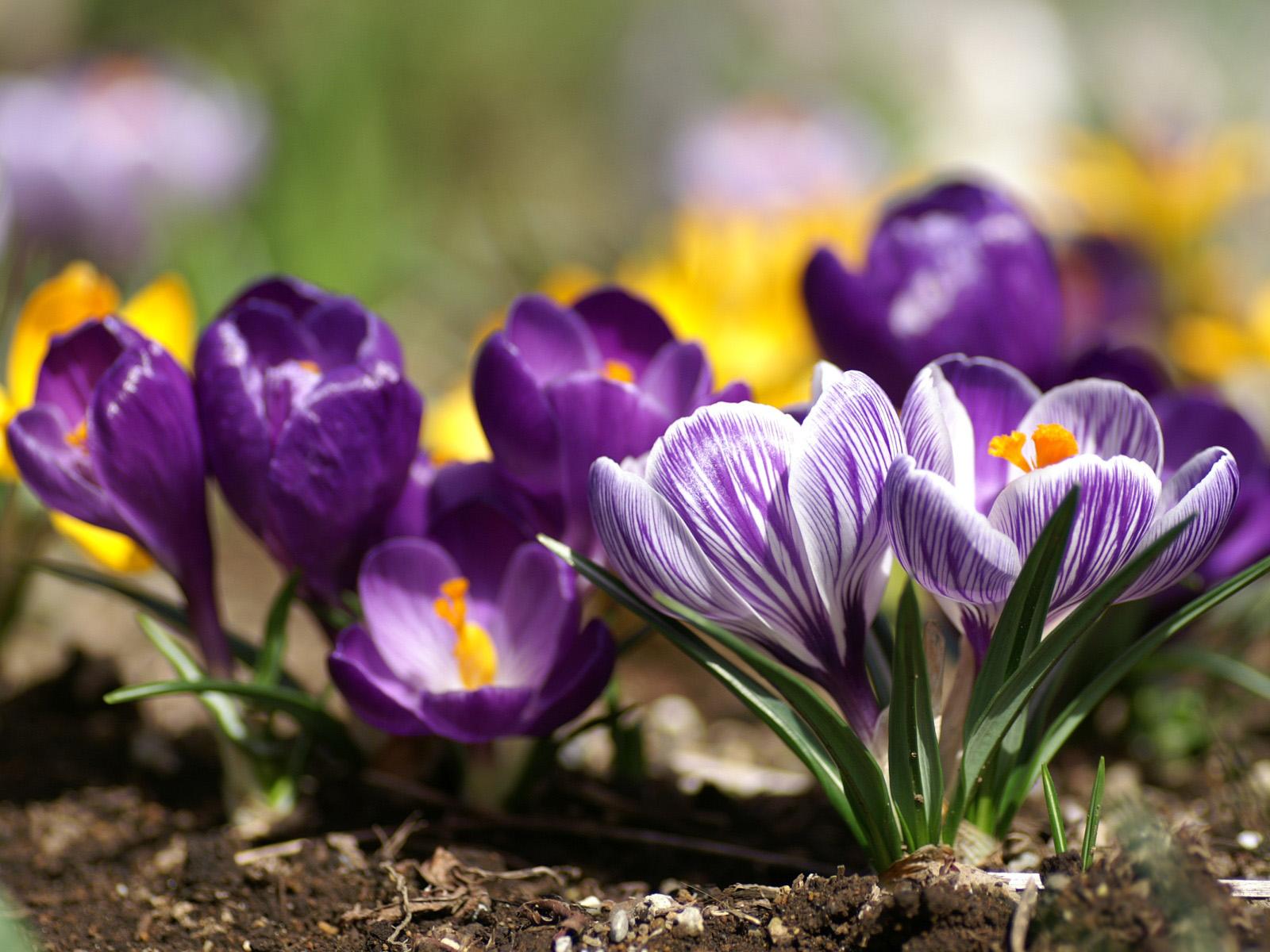 Фиолетовые цветы обои фото цветы в