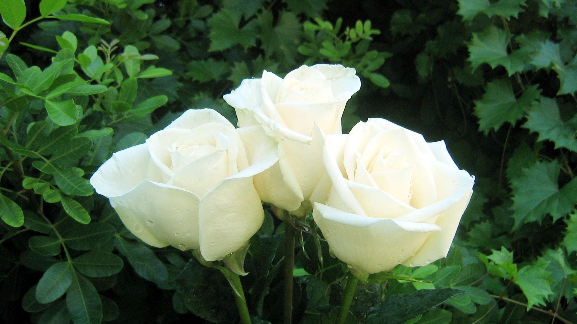 Букет из белых роз обои фото нежные