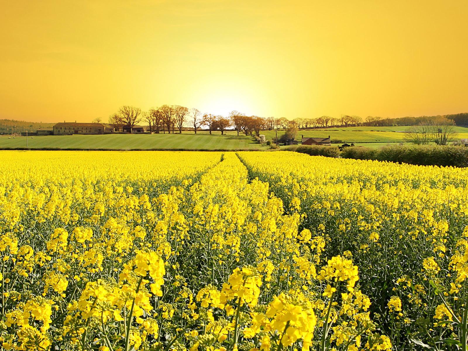 Цветы обои фото желтые полевые цветы