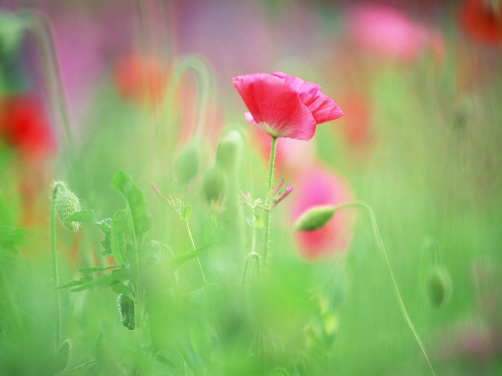 Маки обои фото цветы картинки
