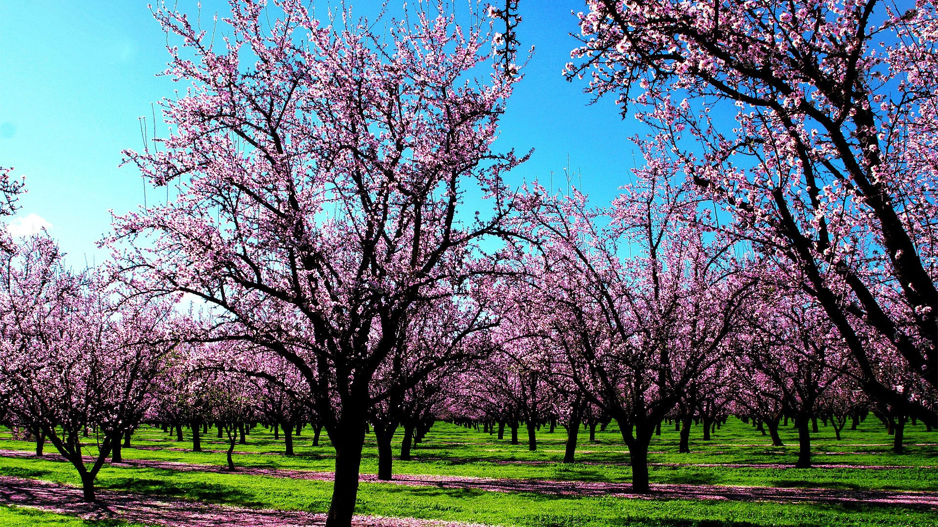 Яблони обои фото яблоневый сад