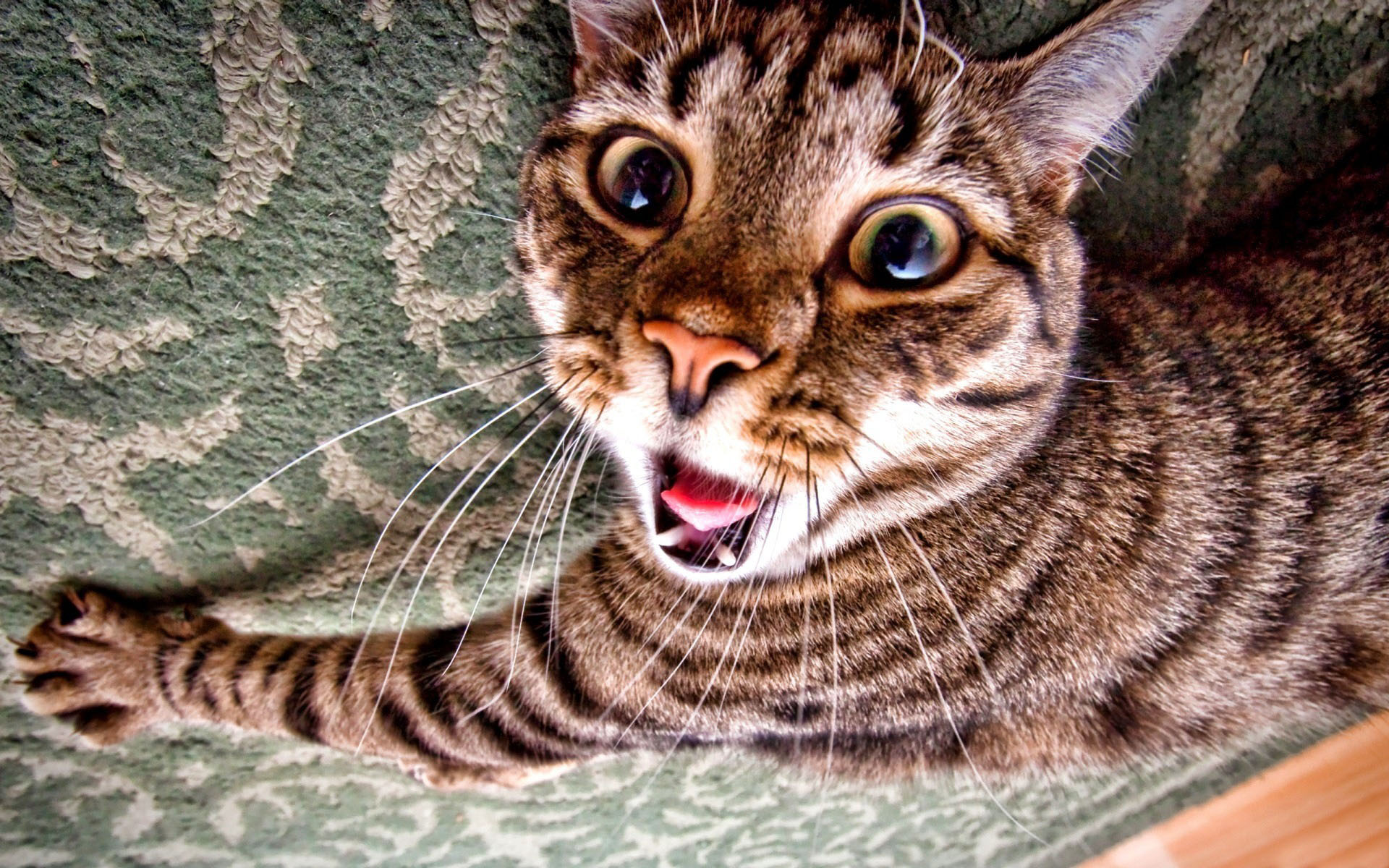 Сумасшедший кот обои фото прикольный