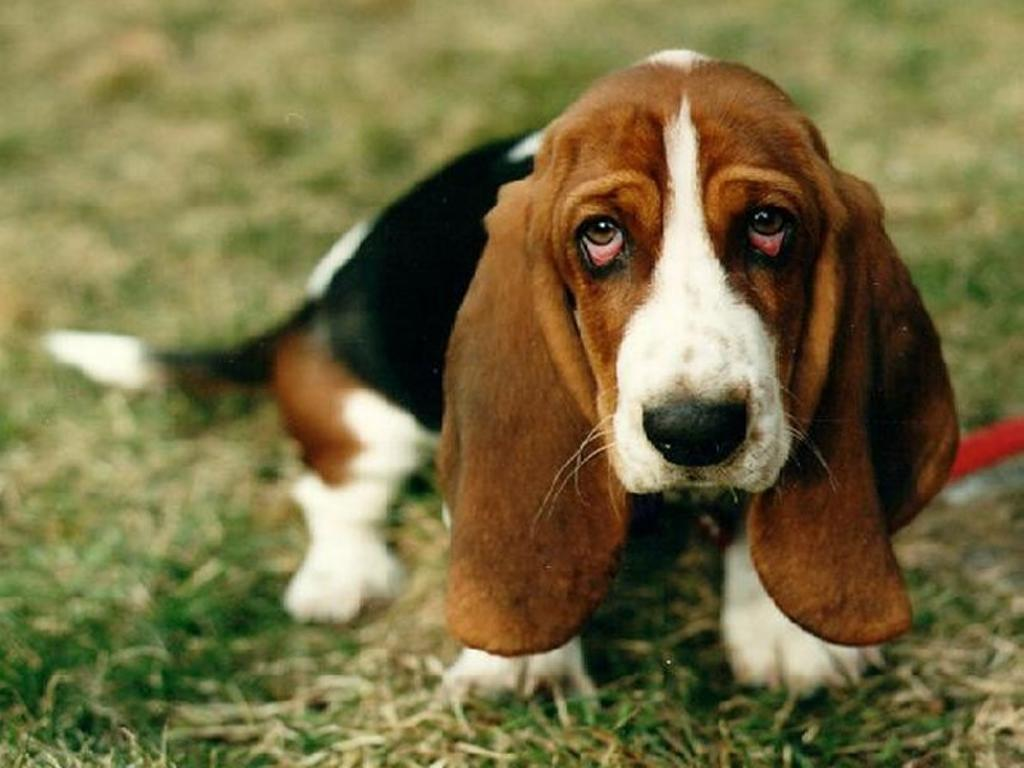 Грустная собака обои фото пес собака