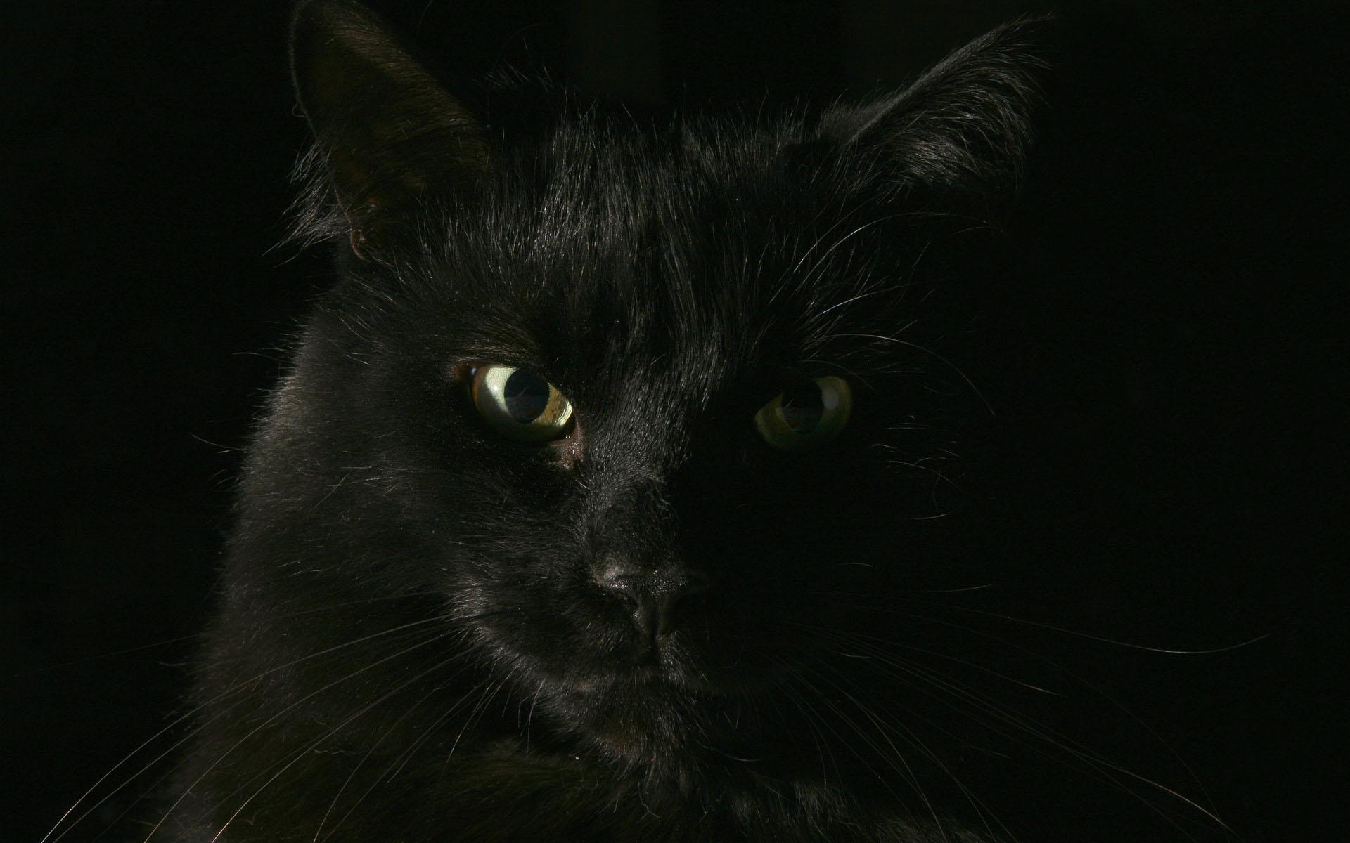 Черный кот обои фото кот приносящий