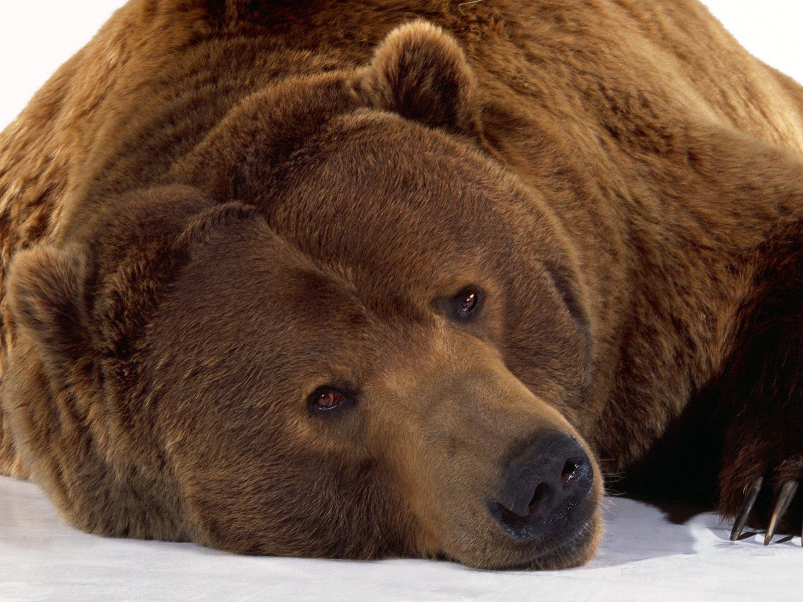 Зимой обои фото медведь bear снег зима
